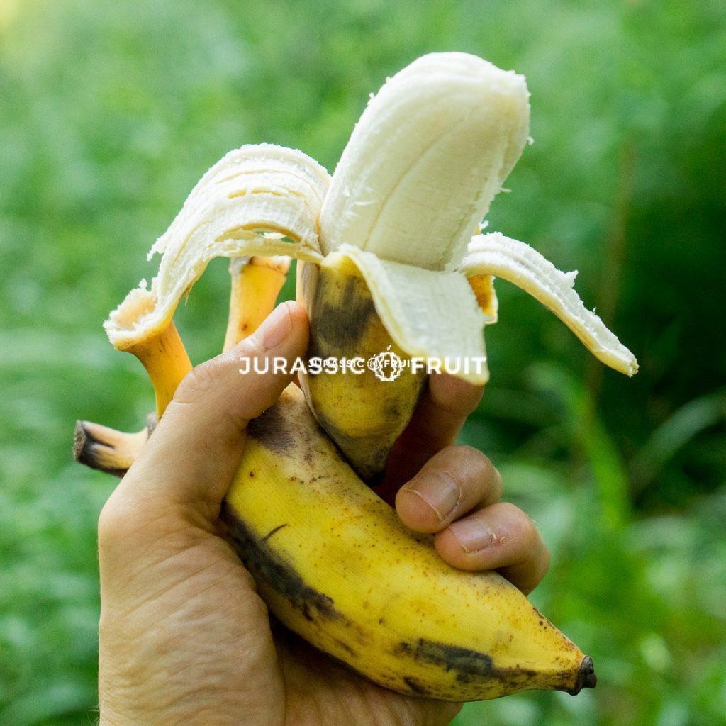 Banana Namwa von Jurassic Fruit