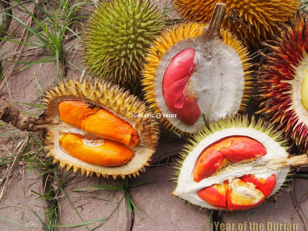 Durian Rot Borneo
