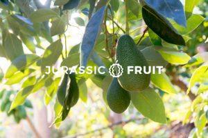 Avocado Baum Jurassic Fruit