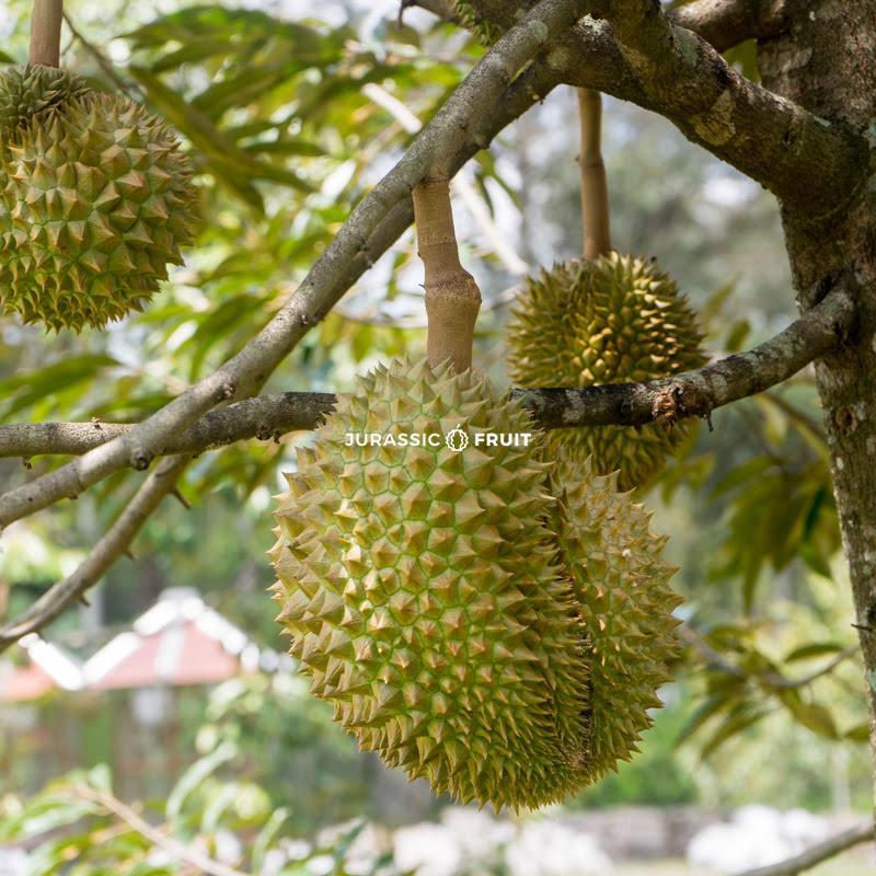 Der Durianbaum ist der größte Fruchtbaum der Welt, er kann mit Leichtigkeit 30 Meter hoch werden!